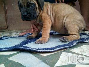 Young Female Purebred Boerboel | Dogs & Puppies for sale in Lagos State, Ikotun/Igando