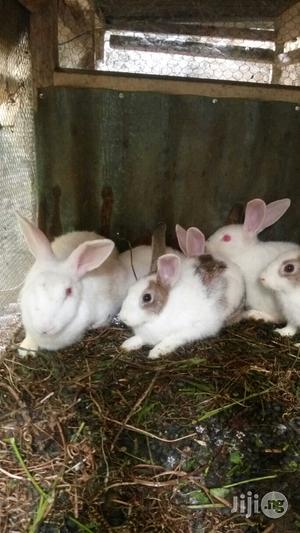Foreign Rabbits for Sale | Livestock & Poultry for sale in Abia State, Osisioma Ngwa