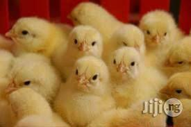 Day Old Chicks And Turkey, Point Of Lay, Old Layers   Livestock & Poultry for sale in Oyo State, Ibadan