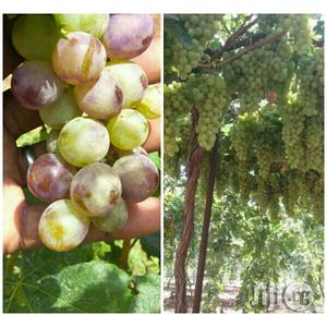 Vine Grape Seedlings   Feeds, Supplements & Seeds for sale in Abuja (FCT) State, Kubwa