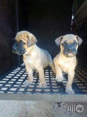 Bull Mastiff Pups | Dogs & Puppies for sale in Lagos State
