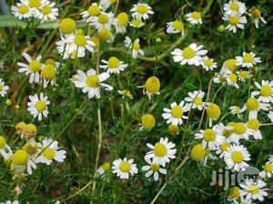 Chamomile Flower Seedlings | Feeds, Supplements & Seeds for sale in Plateau State, Jos