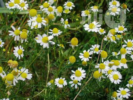 Chamomile Flower Seedlings