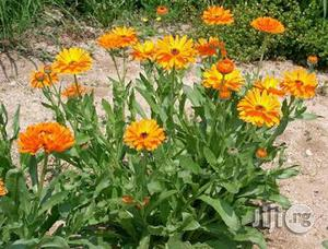 Calendula Flower Seedlings   Feeds, Supplements & Seeds for sale in Plateau State, Jos
