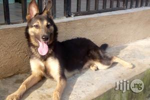 1+ Year Female Purebred German Shepherd | Dogs & Puppies for sale in Ekiti State, Ilawe