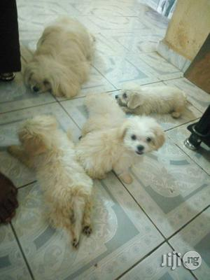 Baby Female Purebred Lhasa Apso | Dogs & Puppies for sale in Abuja (FCT) State, Dutse-Alhaji