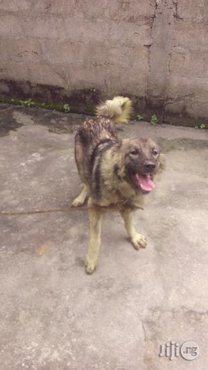 Dog Trainer In Port Harcourt   Dogs & Puppies for sale in Rivers State, Port-Harcourt