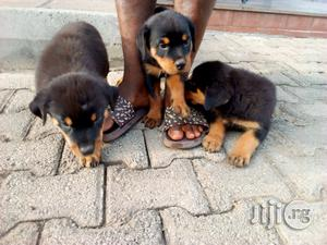 1-3 Month Male Purebred Rottweiler | Dogs & Puppies for sale in Abuja (FCT) State, Gwarinpa