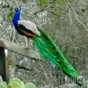 Male Ans Female Peacock Available For Sale | Birds for sale in Oyo State, Ibadan