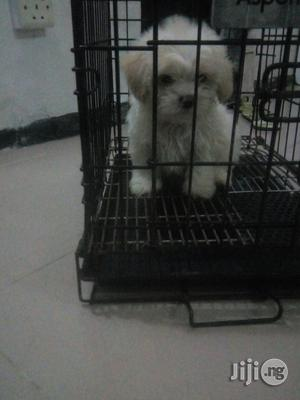 Pure White Cute Lhasa Apso Pups | Dogs & Puppies for sale in Lagos State
