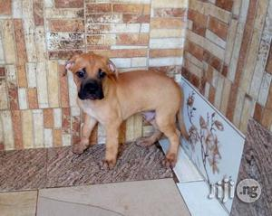 1-3 Month Male Purebred Boerboel | Dogs & Puppies for sale in Abuja (FCT) State, Gwarinpa