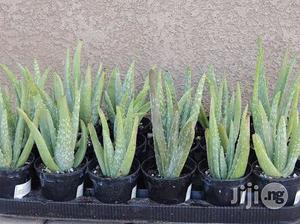 Aloevera Seedlings Plant Organic Aloevera | Feeds, Supplements & Seeds for sale in Plateau State, Jos