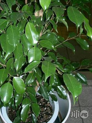 Ficus Seedlings Plant | Garden for sale in Plateau State, Jos
