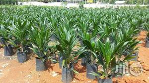 Palm Kernel Oil Palm Seedlings | Meals & Drinks for sale in Plateau State, Jos