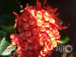 Ixora Plant Seedlings | Garden for sale in Plateau State, Jos