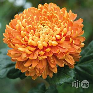 Chrysanthemum Flower Seedlings | Feeds, Supplements & Seeds for sale in Plateau State, Jos