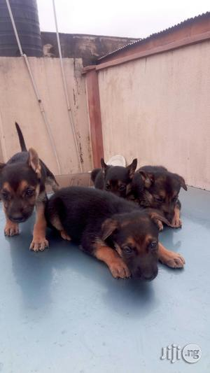 Baby Female Purebred German Shepherd   Dogs & Puppies for sale in Oyo State, Ibadan