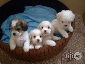 Young Female Purebred Lhasa Apso | Dogs & Puppies for sale in Lagos State