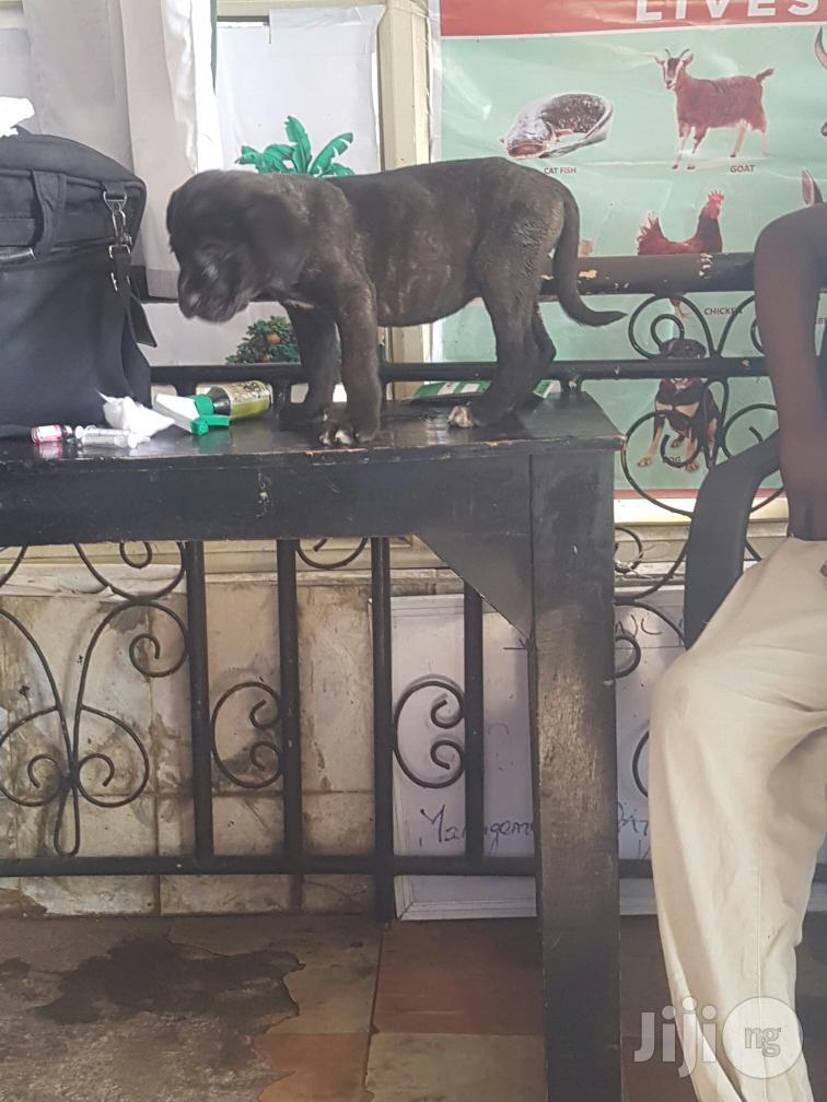 1-3 Month Female Purebred Boerboel   Dogs & Puppies for sale in Ikeja, Lagos State, Nigeria