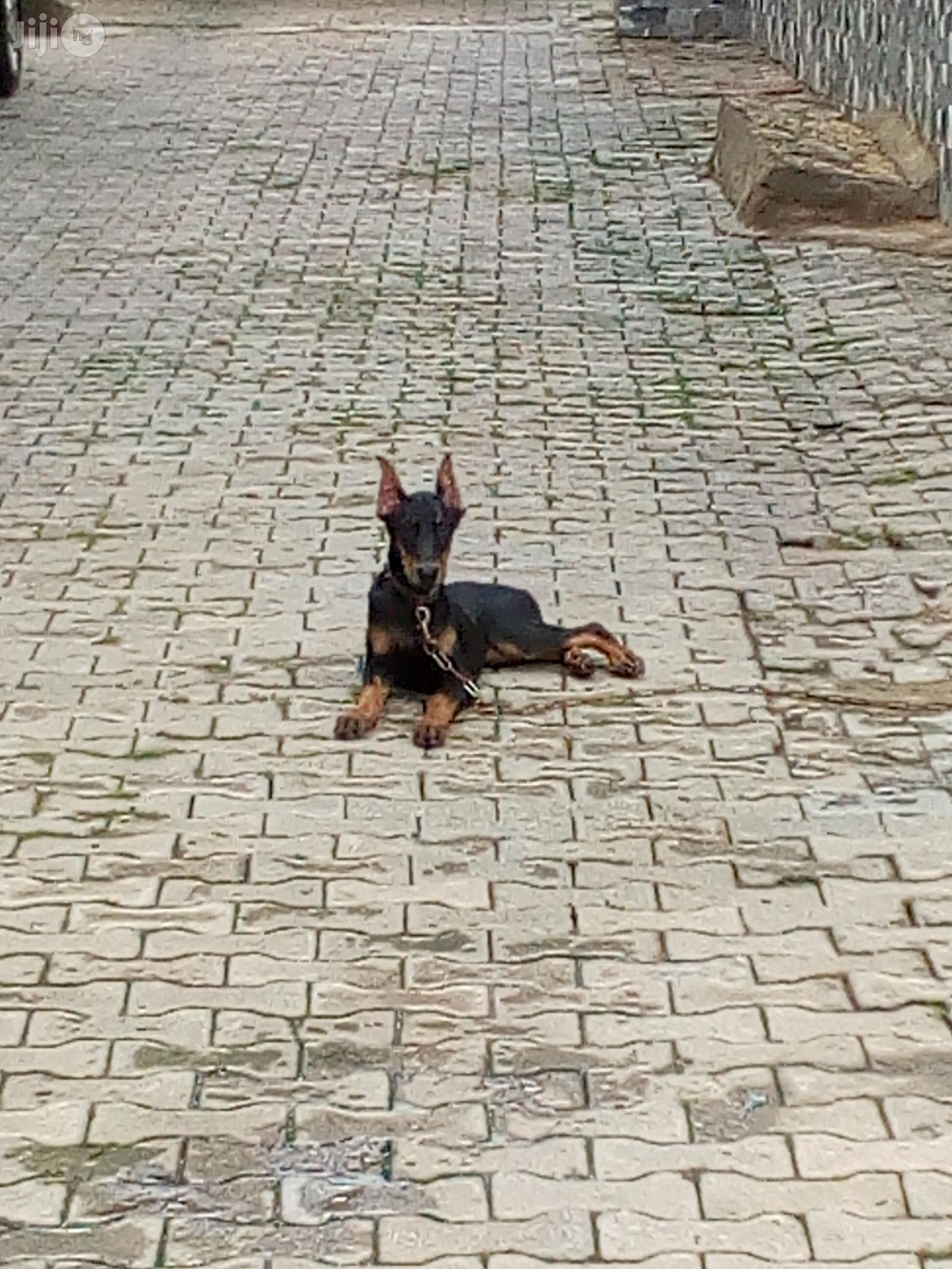 3-6 Month Female Purebred Doberman Pinscher   Dogs & Puppies for sale in Gwarinpa, Abuja (FCT) State, Nigeria