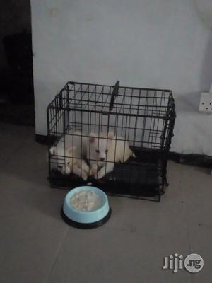 Young Male Purebred American Eskimo | Dogs & Puppies for sale in Lagos State, Surulere