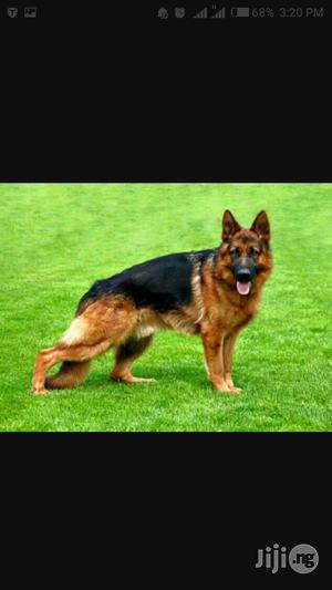 6-12 Month Female Purebred German Shepherd   Dogs & Puppies for sale in Lagos State, Isolo