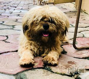 6-12 Month Male Purebred Lhasa Apso | Dogs & Puppies for sale in Lagos State, Alimosho