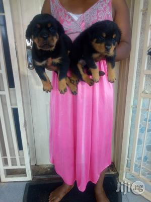 1-3 Month Male Purebred Rottweiler   Dogs & Puppies for sale in Lagos State, Agboyi/Ketu