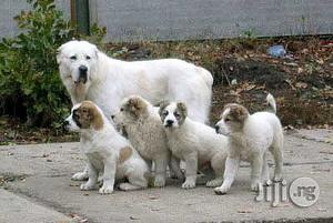 1-3 Month Female Purebred Anatolian Shepherd | Dogs & Puppies for sale in Lagos State, Alimosho