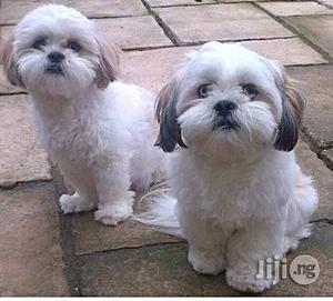 3-6 month Female Purebred Lhasa Apso | Dogs & Puppies for sale in Lagos State, Lekki