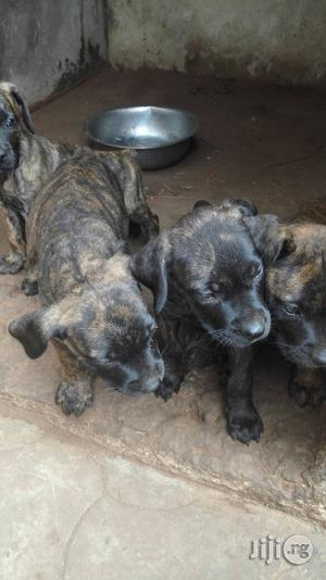 Boerboel Clean And Healthy   Dogs & Puppies for sale in Ogun State, Ifo