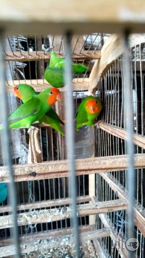 Love Birds | Birds for sale in Lagos State, Ikoyi