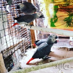 Africa Grey Talking Parrot | Birds for sale in Lagos State, Lekki
