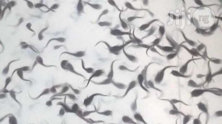 Cat Fish Juvenile, Post Fingerlings, Fingerlings, Smoking, T | Livestock & Poultry for sale in Akure, Ondo State, Nigeria