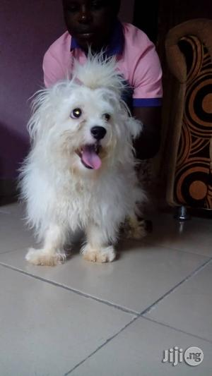 1+ Year Female Purebred Lhasa Apso   Dogs & Puppies for sale in Delta State, Uvwie
