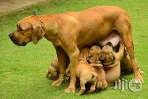 6-12 Month Female Purebred Boerboel | Dogs & Puppies for sale in Lagos State, Lekki