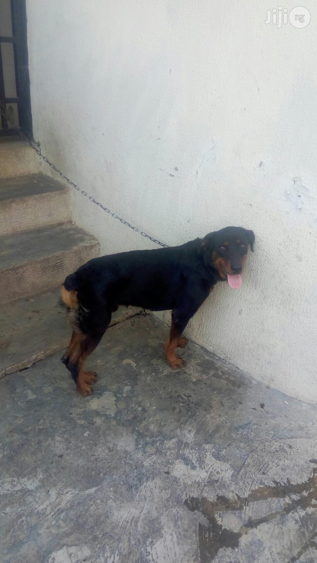 Semi Adult Male Rottweiler for Sale