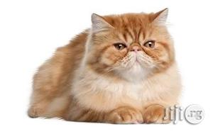 Imported Purebreed Cute Persian Kitten For Sale   Cats & Kittens for sale in Lagos State, Lekki