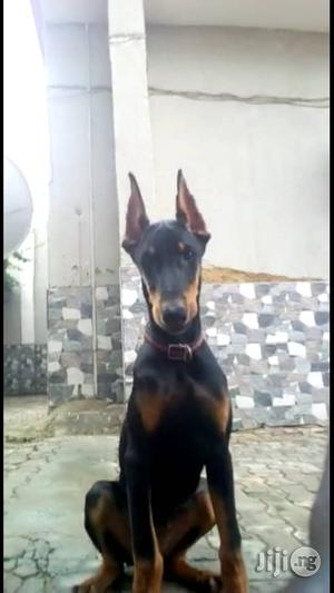 3-6 Month Female Purebred Doberman Pinscher   Dogs & Puppies for sale in Abuja (FCT) State, Gwarinpa
