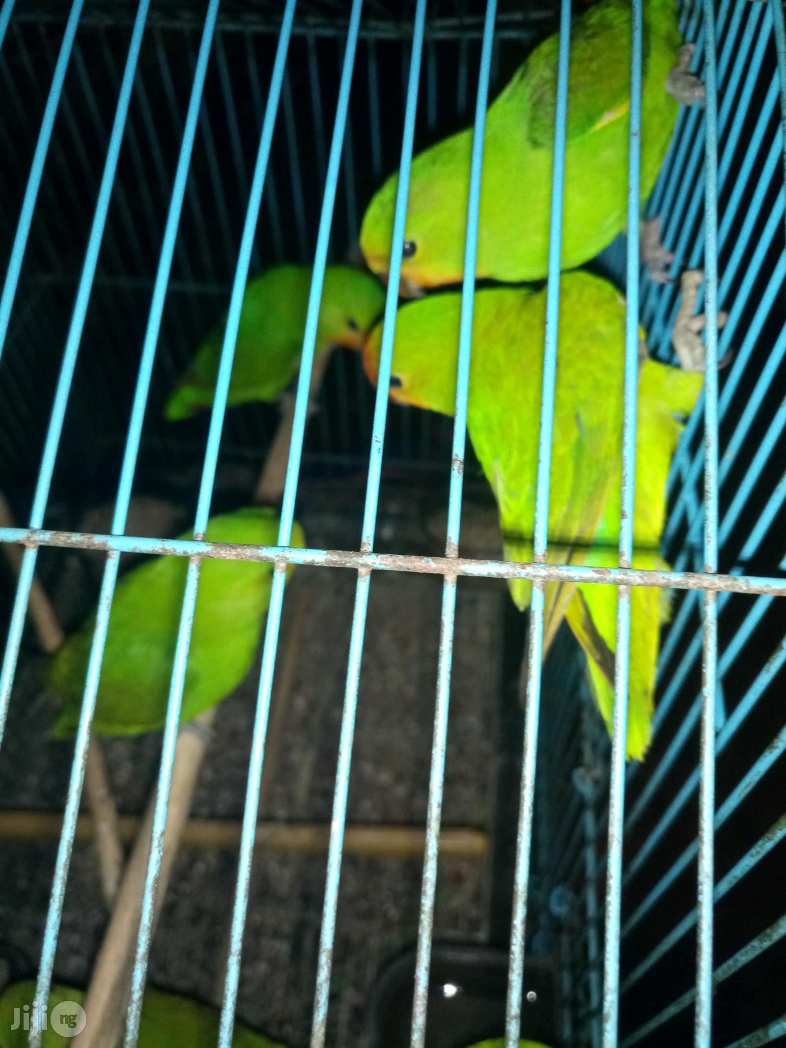 Love Birds   Birds for sale in Ikoyi, Lagos State, Nigeria