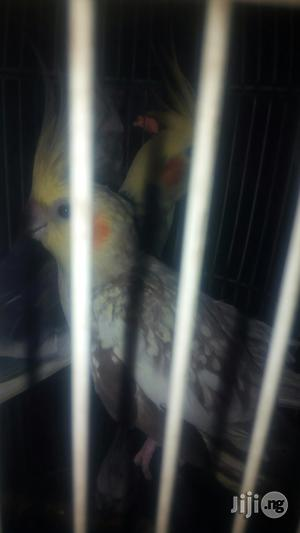 Cockatel Parrot | Birds for sale in Lagos State