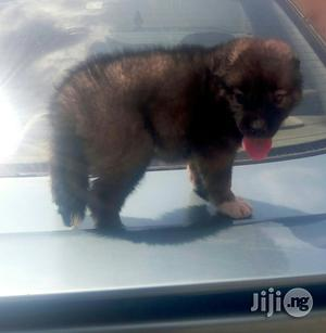 Baby Female Purebred Caucasian Shepherd | Dogs & Puppies for sale in Oyo State, Ibadan