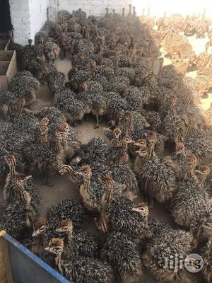 Ostrich Chicks | Livestock & Poultry for sale in Kaduna State, Kaduna / Kaduna State
