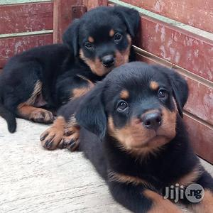 1-3 month Female Purebred Rottweiler | Dogs & Puppies for sale in Lagos State, Ikeja