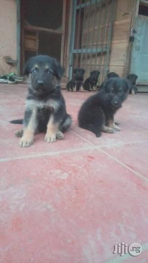 1-3 Month Female Purebred German Shepherd | Dogs & Puppies for sale in Lagos State, Maryland