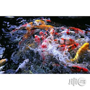 Pure Breed Japanese Koi Fishes 10 Inches | Fish for sale in Lagos State, Lagos Island (Eko)