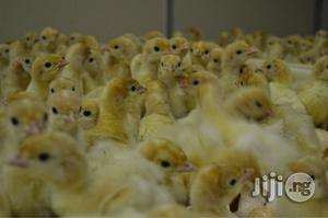 Day Old Broiler | Livestock & Poultry for sale in Oyo State, Ibadan