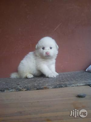1-3 Month Female Purebred Other | Dogs & Puppies for sale in Lagos State, Ikotun/Igando