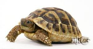 Pet Tortoise (Land And Turtle) | Reptiles for sale in Abuja (FCT) State, Kubwa