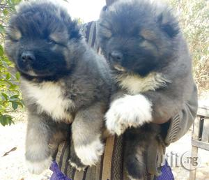 Caucasian Bear Dog | Dogs & Puppies for sale in Plateau State, Jos